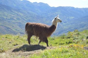 Stalking the Llama