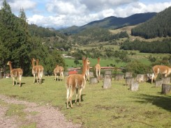 Vicuñas and view
