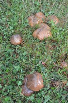 Porcon mushrooms