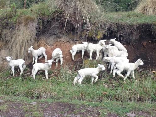 Lambsies