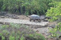 Giant Tortoise Moving Slooowly