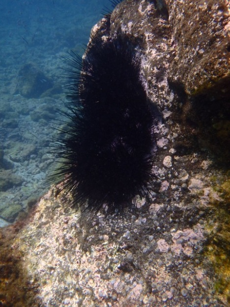 Crowned Sea Urchin