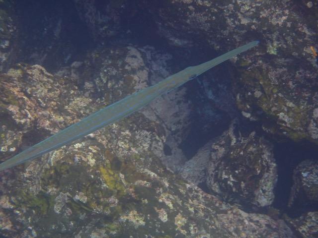 Reef Cornetfish