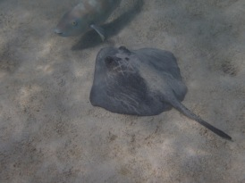 Parrotfish and Stingray