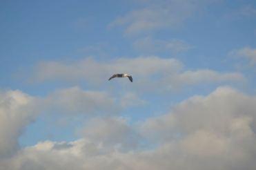 Soaring Albatross