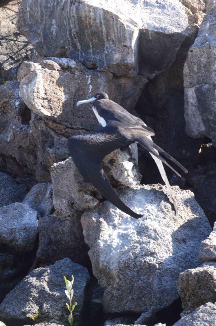 Sneaky Frigatebird