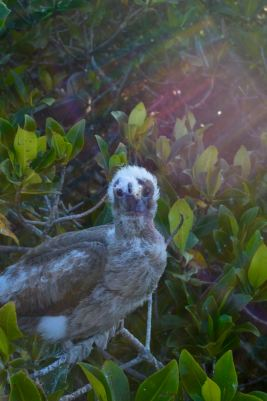 Red Footed Booby Baby