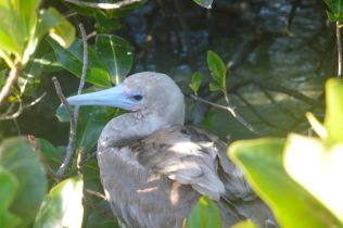 Blue Beaked, Red Footed Booby
