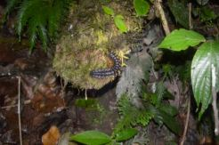 Poisonous Centipede