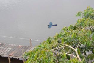 Turquoise Jay in Flight