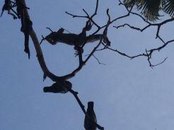 Iguanas and Birds