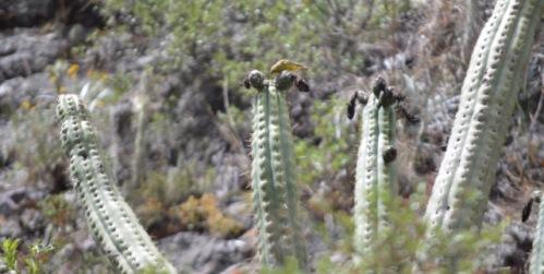 Cactus Eater