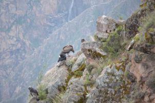 A Condo of Condors