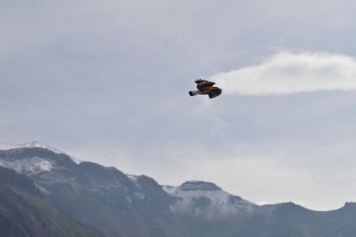 Hawk Pretending to be a Condor