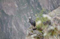 Condor Stare Down