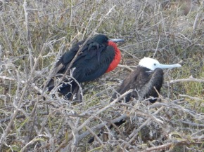 Adult and Juvenile Frigatebirds