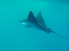 Amazing Eagle Ray at Kicker Rock