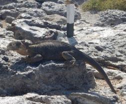 Iguana Marks the Spot
