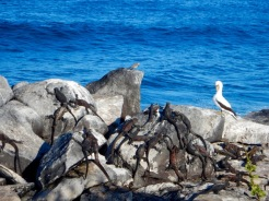 Mess o' iguanas and a Nazca Booby