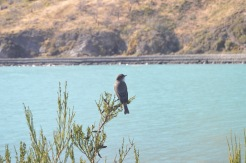 Patagonian Bird (Okay, I made that up)
